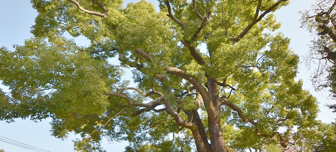 八尾市指定保全樹木 くすのき 第11号