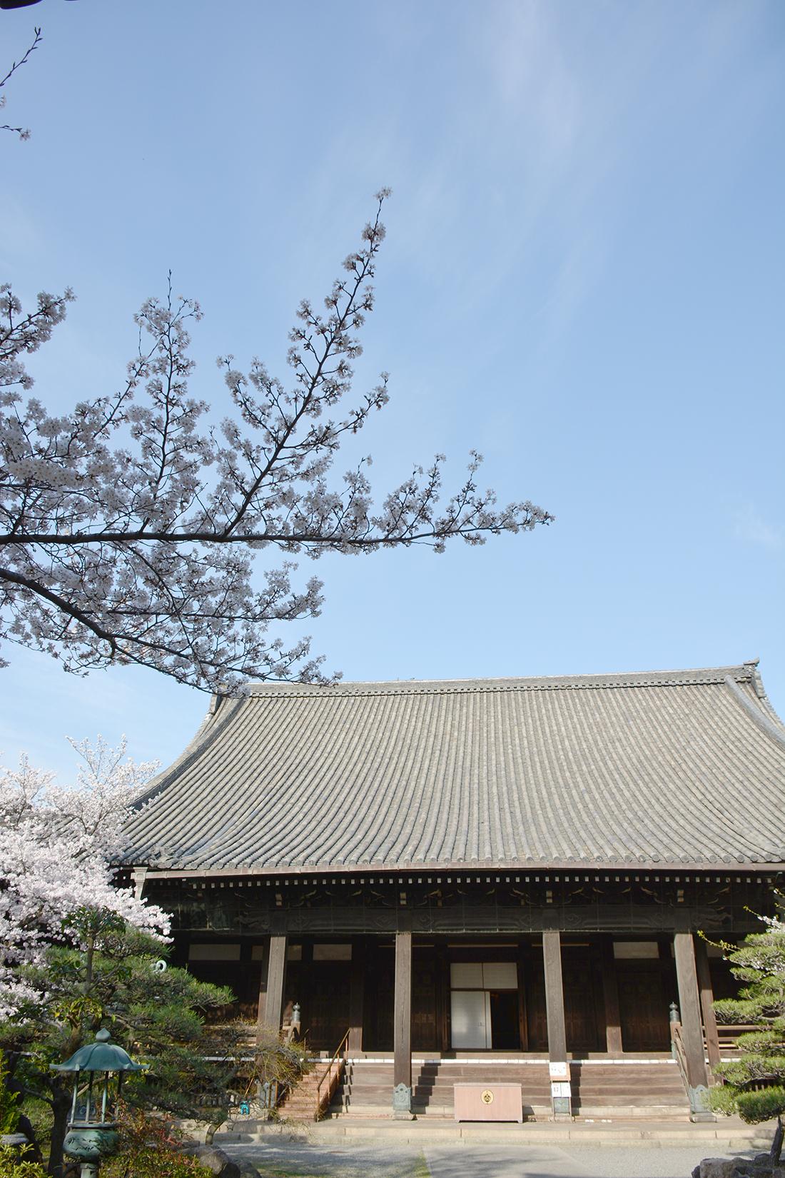 春の顕証寺 本堂