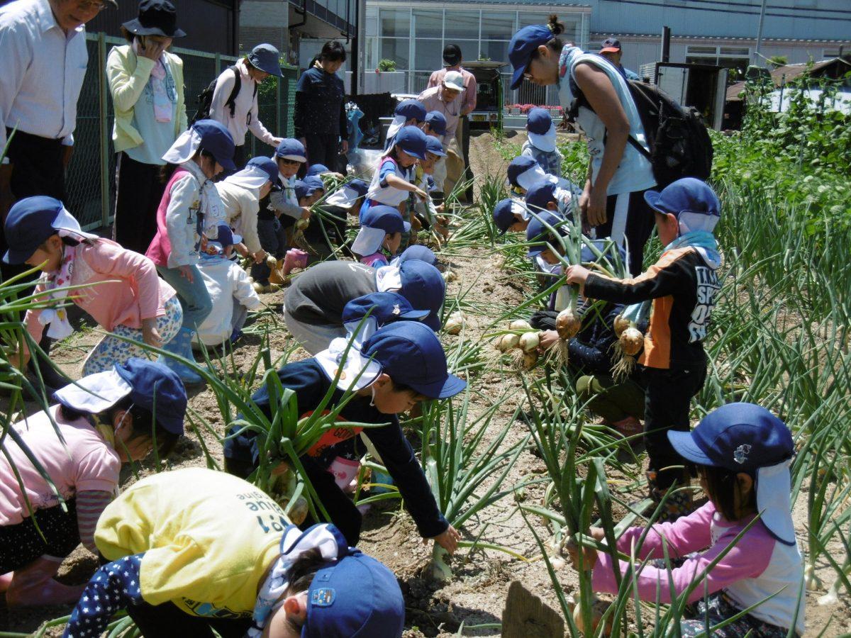 園児たちとたまねぎの収穫をしました