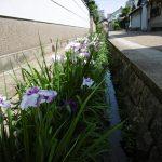 久宝寺寺内町の大水路の菖蒲が満開!