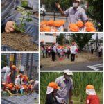 6/15 園児たちと「河内木綿の苗植え」をしました