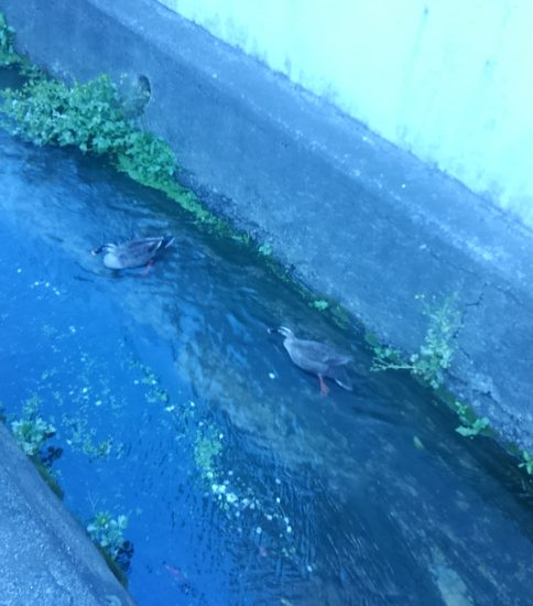 久宝寺寺内町の水路にカモがすいすい!!